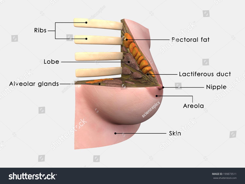 Breast Anatomy Labelled Stock Illustration 199873511 - Shutterstock