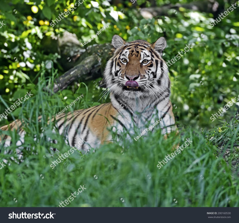 portrait tiger wild habitat stock photo 200160530 shutterstock