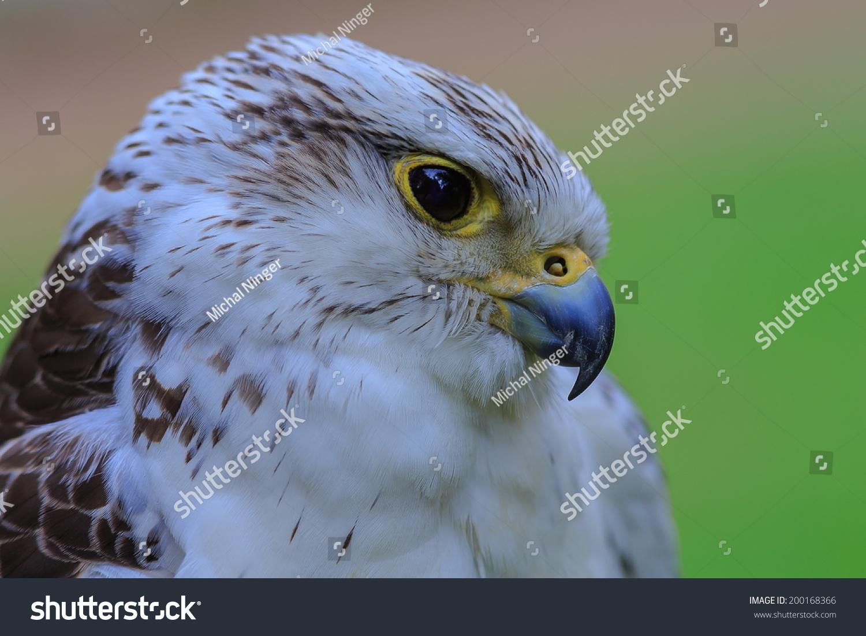 hybrid Saker Falcon and Gyrfalcon close up