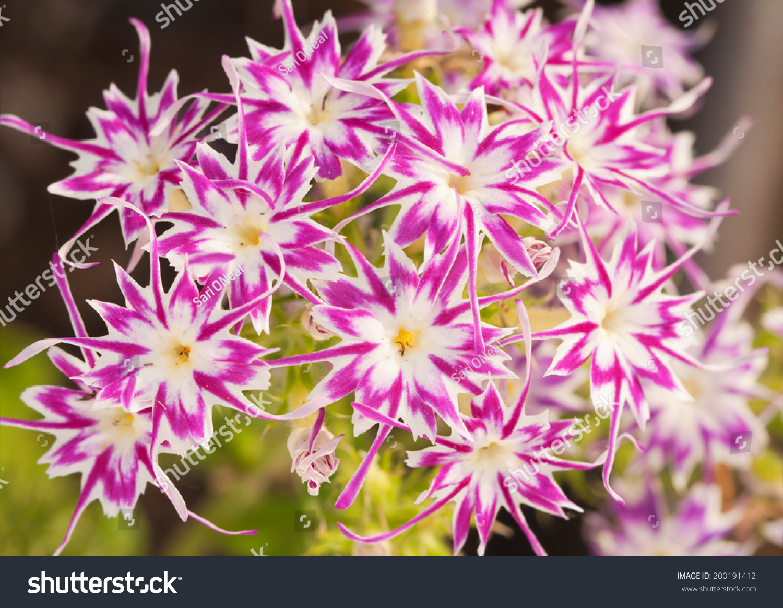 Beautiful Pink White Star Phlox Star Stock Photo Royalty Free