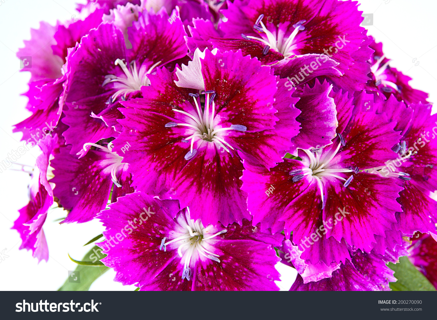 Purple Sweet William Flowers Isolated On Stock Photo Royalty Free