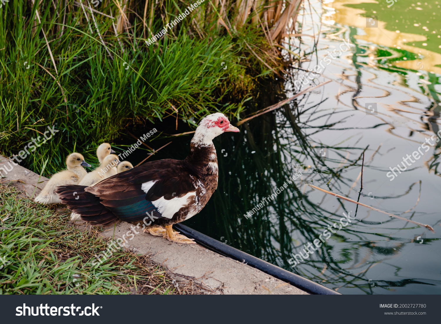 stock-photo-domestic-creole-duck-hen-and