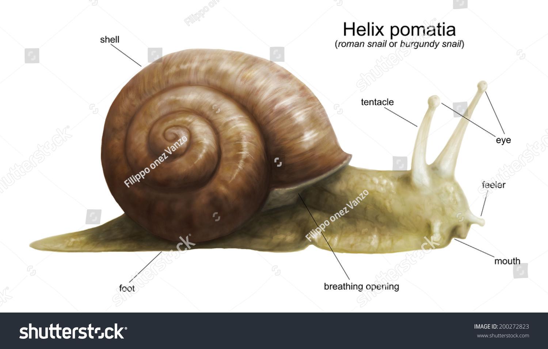 Garden Snail Helix Pomatia Diagram White Stock Illustration