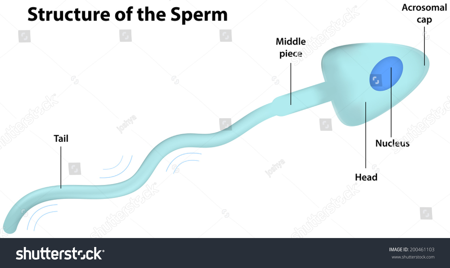 Labelled diagram of the sperm