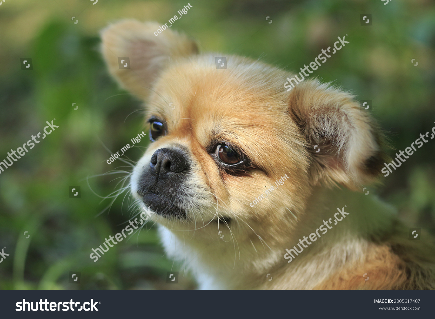 stock-photo-close-up-of-a-chihuahua-face