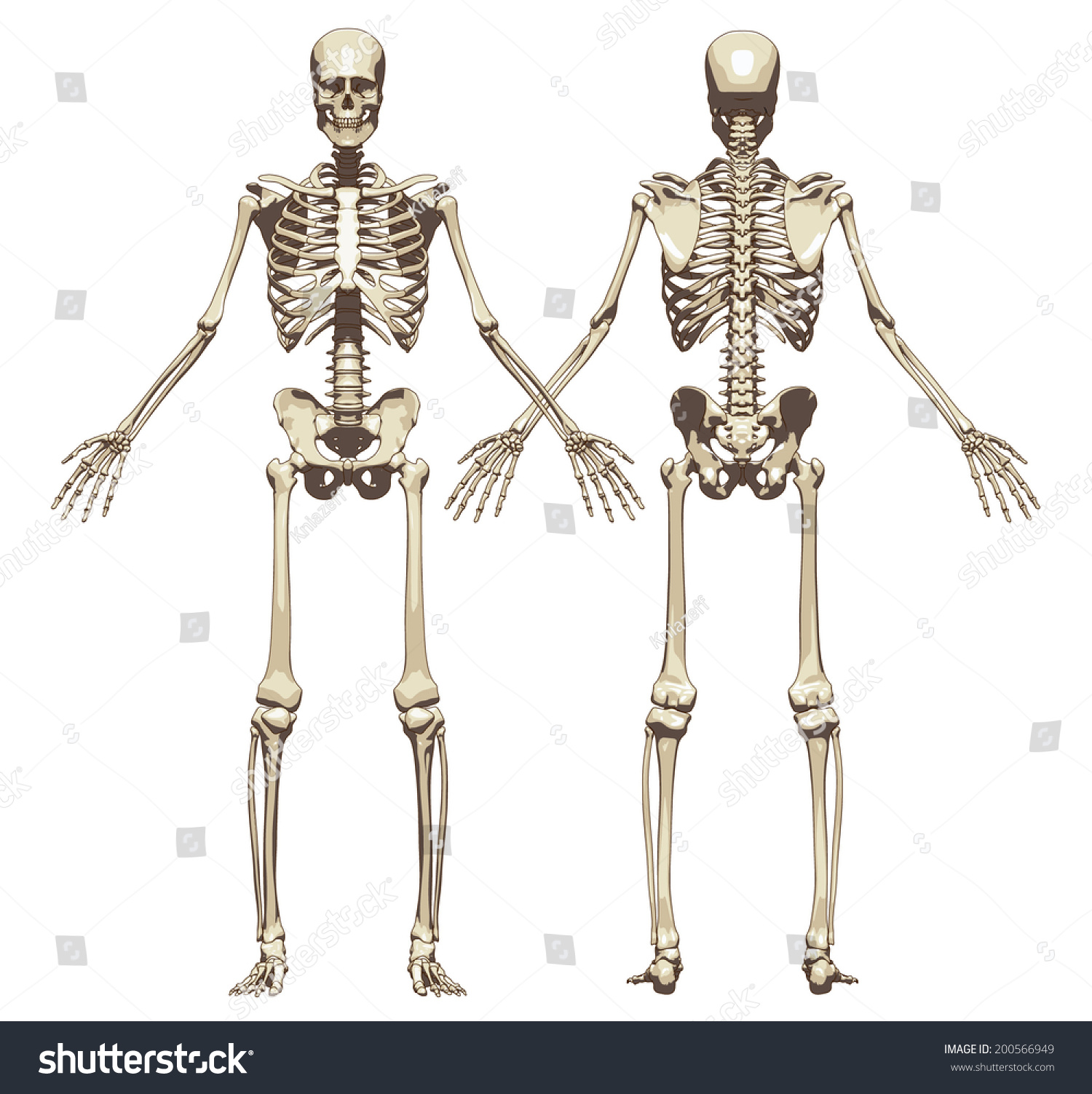 a human skeleton eq – hd-m, Skeleton