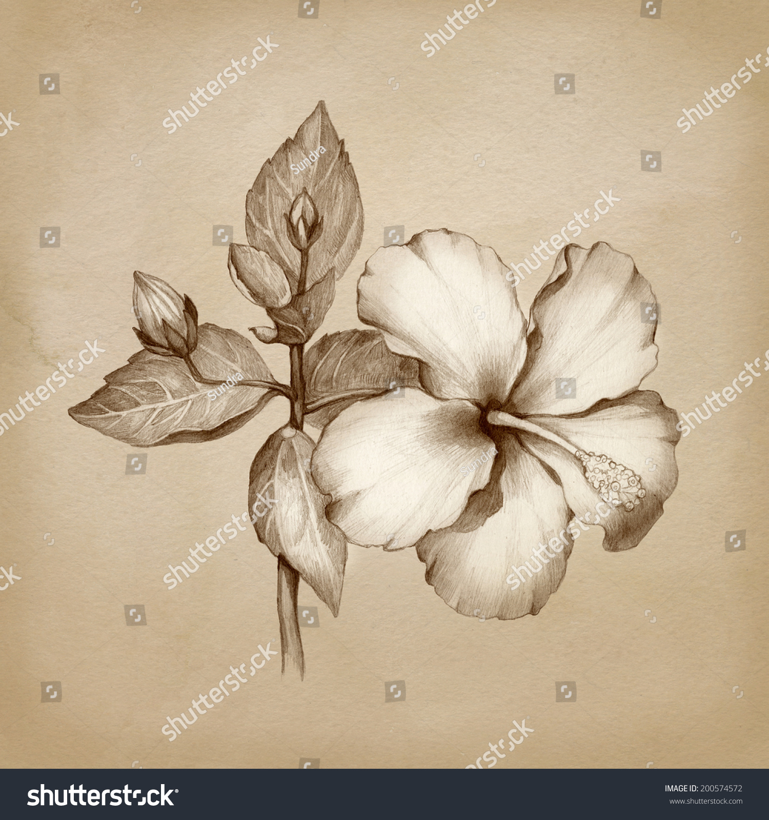Pencil Drawing Hibiscus Flower Stock Illustration 200574572