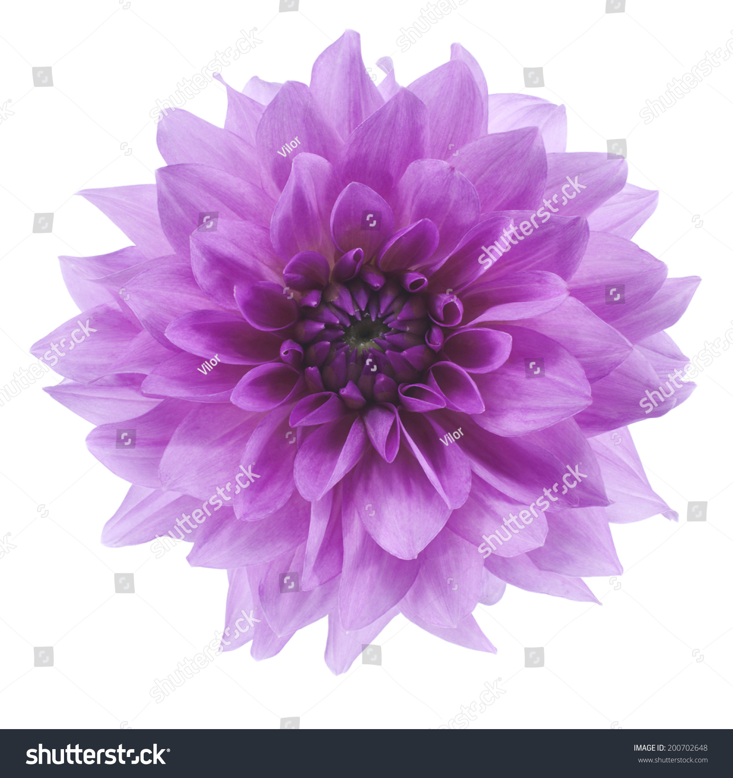 Studio Shot Of Blue Colored Dahlia Flower Isolated On White