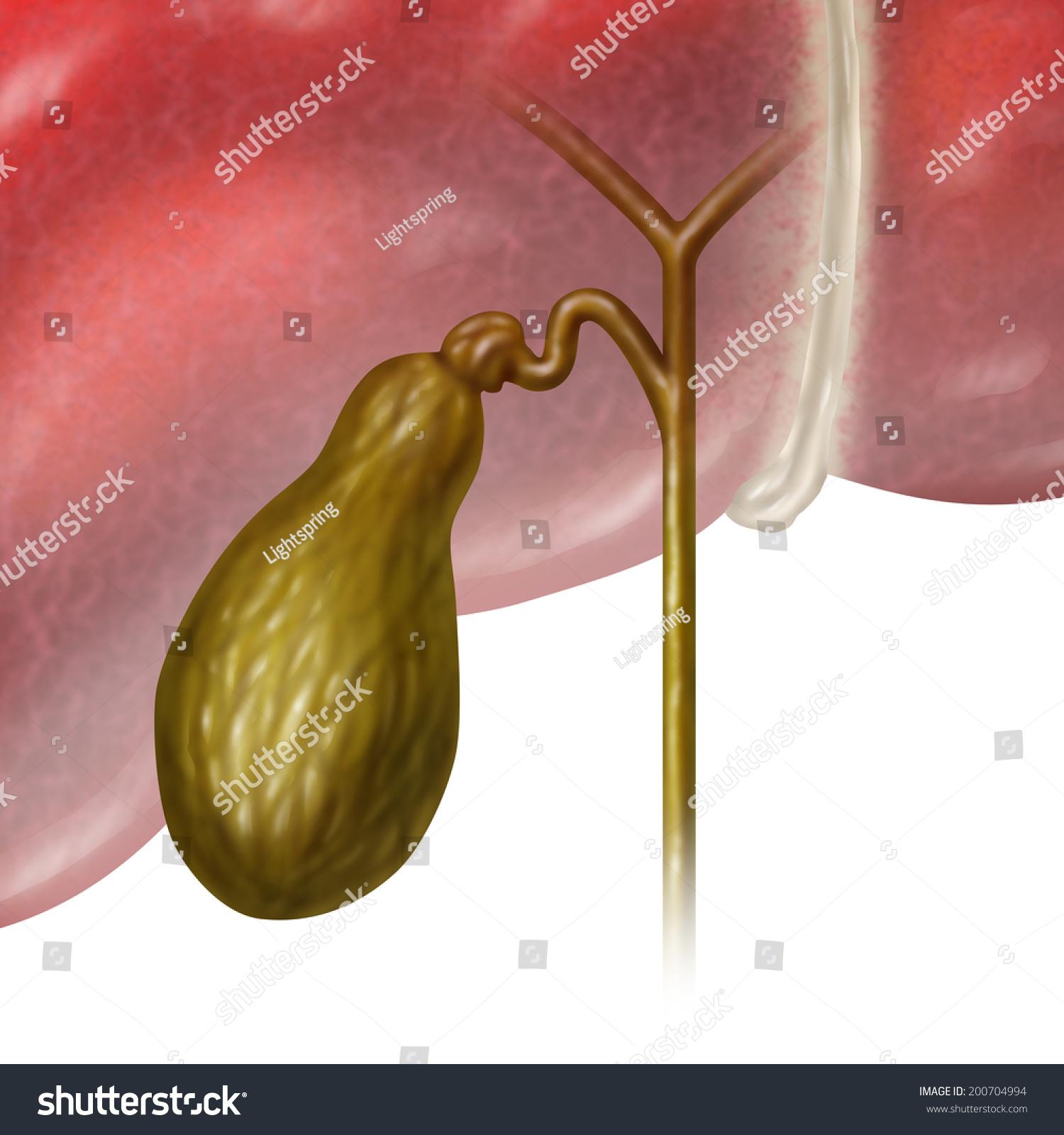 Gallbladder Gall Bladder Human Internal Organ Stock Illustration