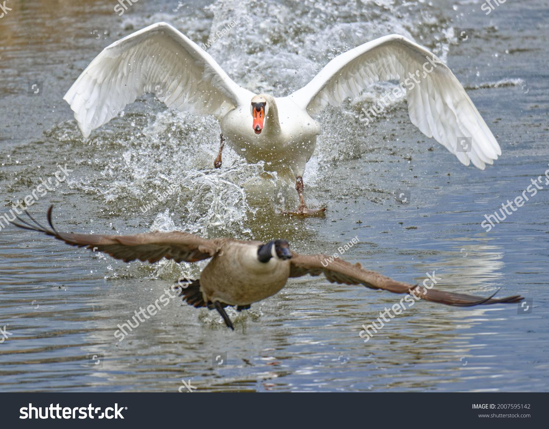 stock-photo-mute-swan-attacking-canada-g