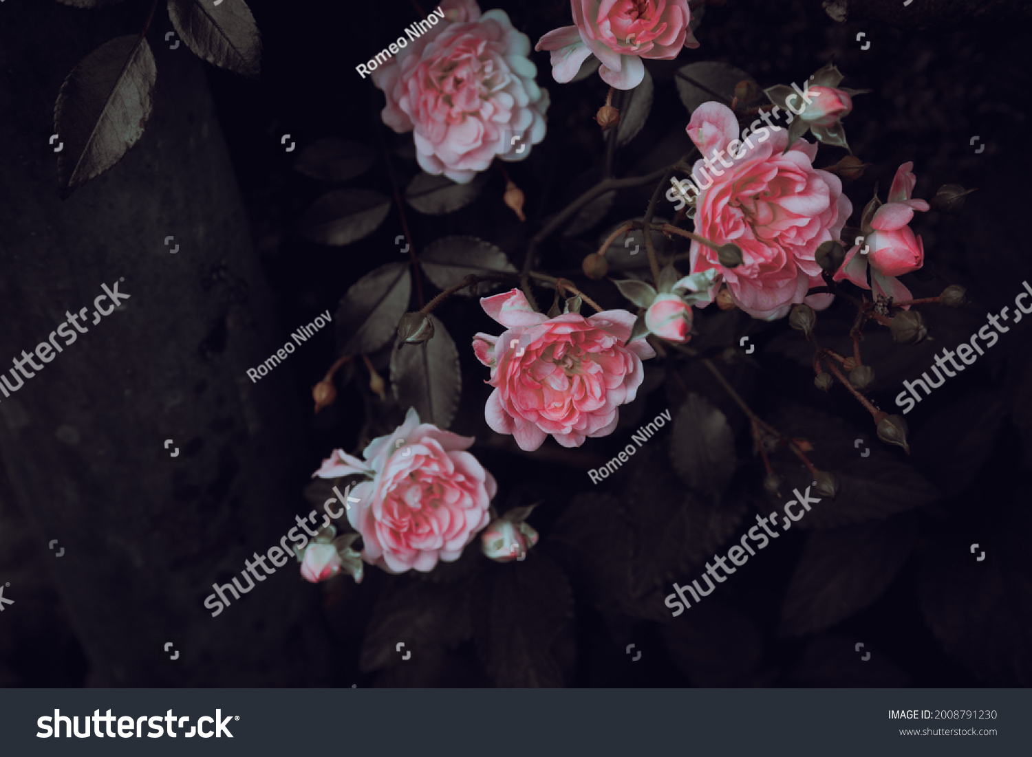 Blooming roses and green leaves in garden
