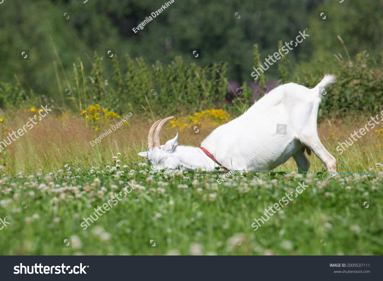 stock-photo-white-goat-lies-on-the-grass