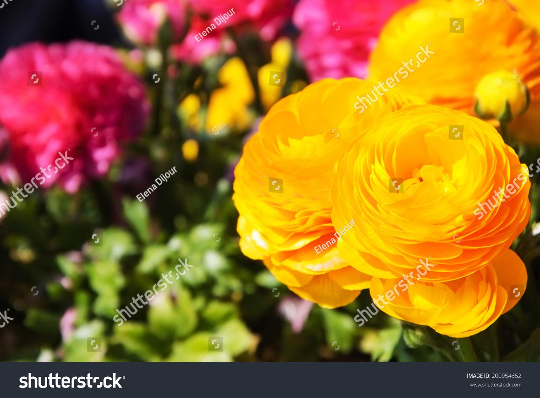Yellow Purple Buttercup Flowers Garden Selective Stock Photo Edit