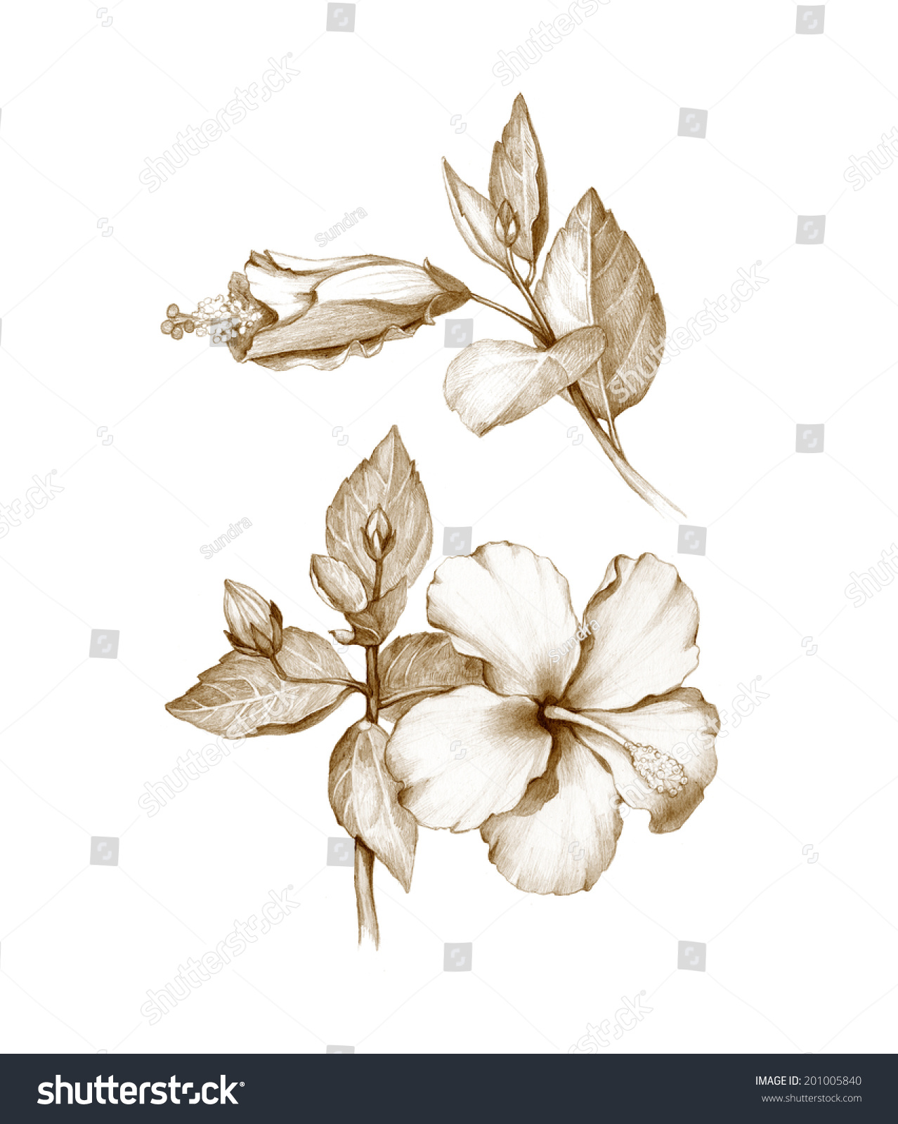 Pencil Drawing Hibiscus Flower Stock Illustration 201005840