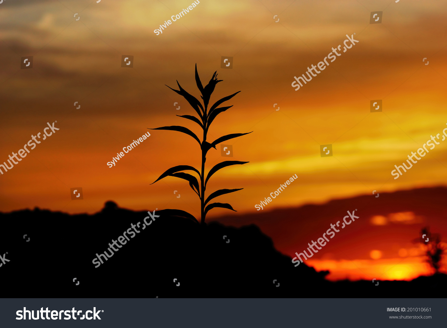 tall grass silhouette. Tall Grass Silhouette At Dramatic Golden Sunset
