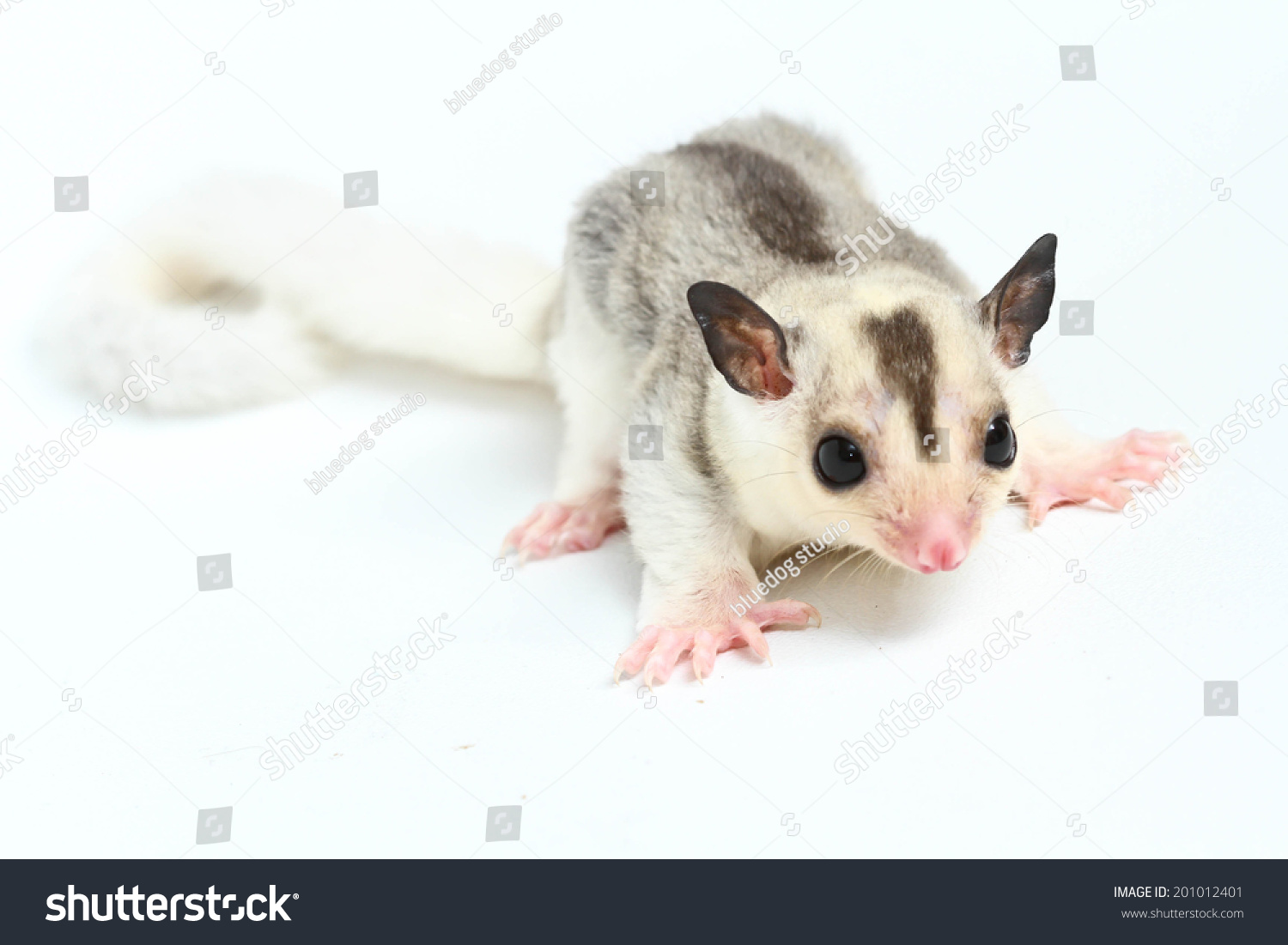 Sugar Glider Front White Background Stock Photo Edit Now 201012401