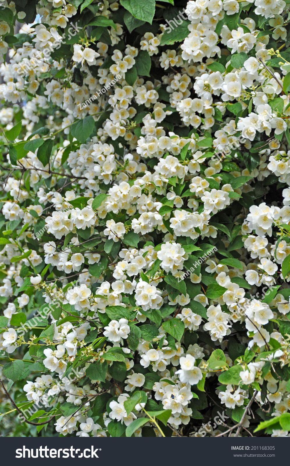 Jasmine flower growing on bush garden stock photo edit now jasmine flower growing on the bush in garden floral background izmirmasajfo