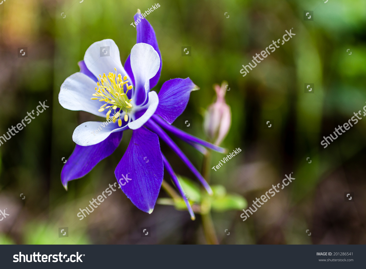 Side View Blue Columbine Flower Bloom Stock Photo Edit Now