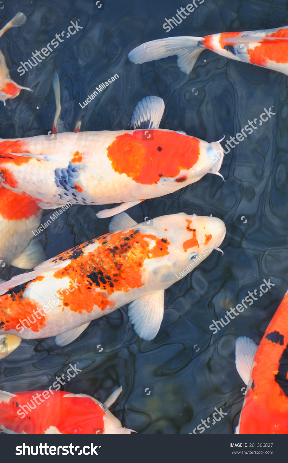 Koi fish swimming pond sensoji temple stock photo for Pool koi aquatics ltd