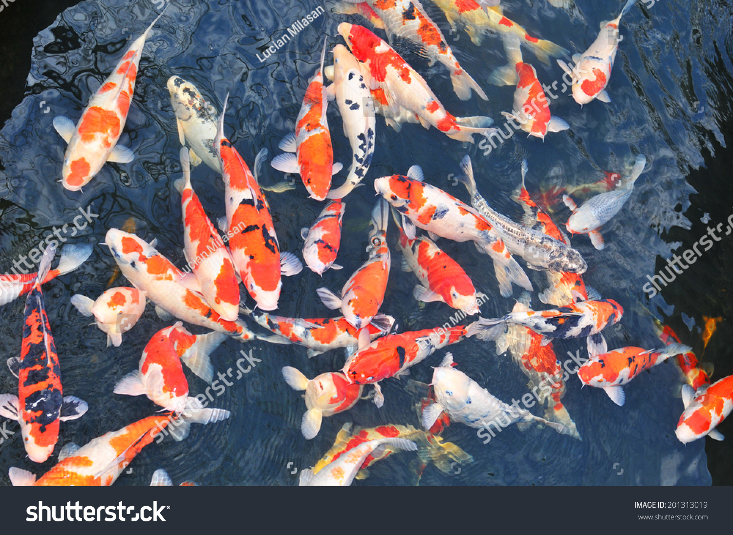 Detail colorful koi fish pond stock photo 201313019 for Colorful pond fish