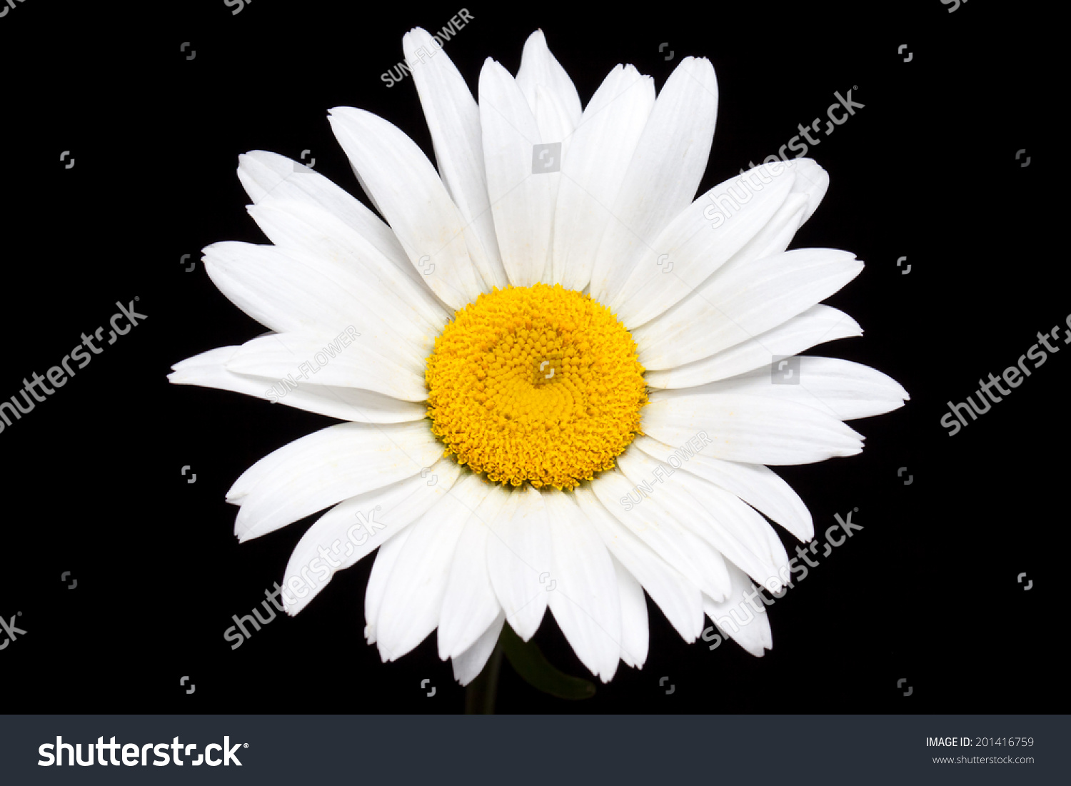 Camomile, White Daisy Flower On Black Background. Stock ...
