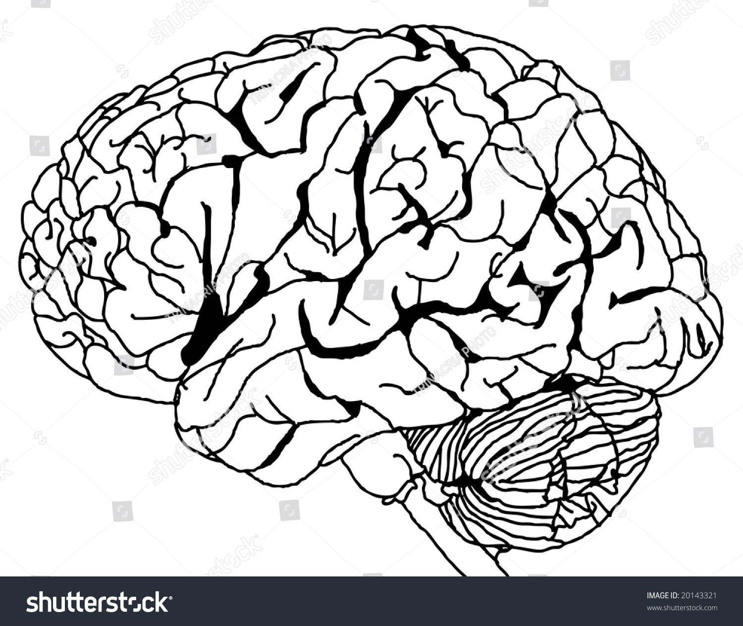 Line Drawing Brain : Contour line drawing of a brain vector