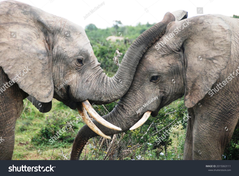 Elephants at Addo Elephant Park, Eastern Cape, South Africa #2015063111