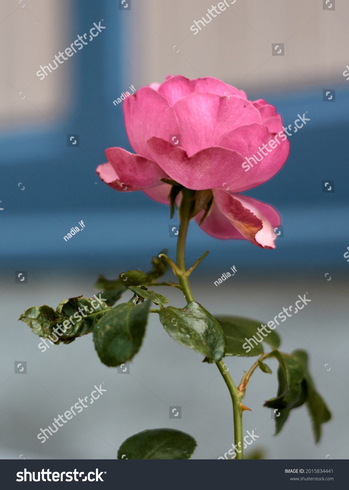 Pink rose flower in the rose garden. side view. Soft focus.High quality photo #2015834441