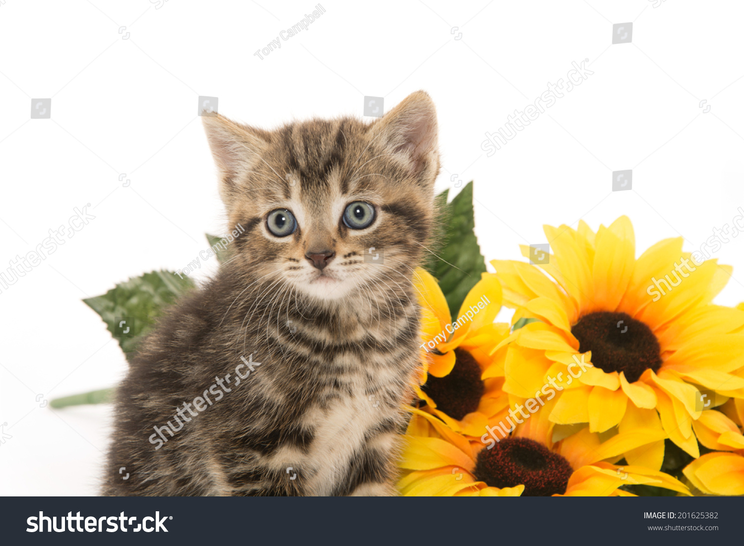 Cute Baby Tabby Kitten With Yellow Flowers On White Background Ez