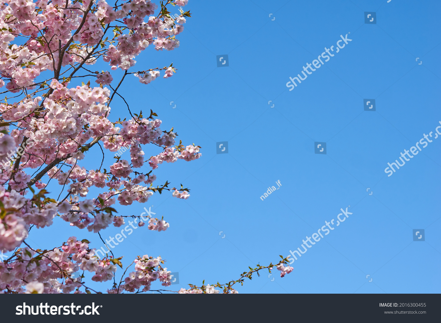 Sakura, Pink cherry blossom on background blue sky. Space for text. High quality photo #2016300455