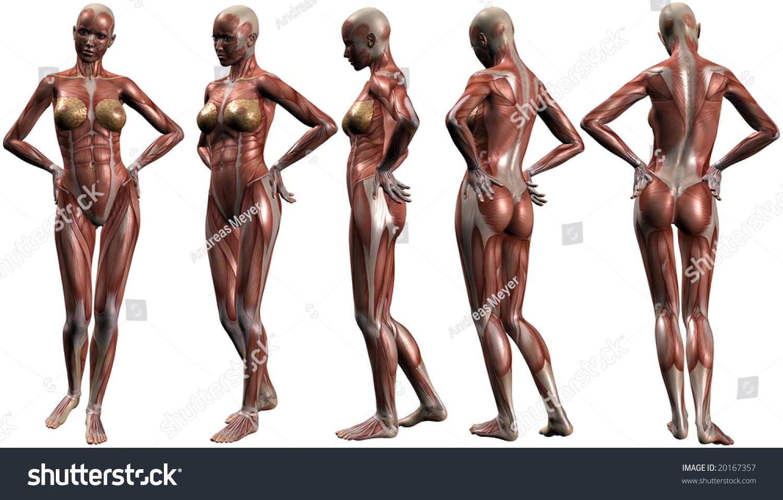 Female Human Body Anatomy Stock Illustration 20167357 Shutterstock