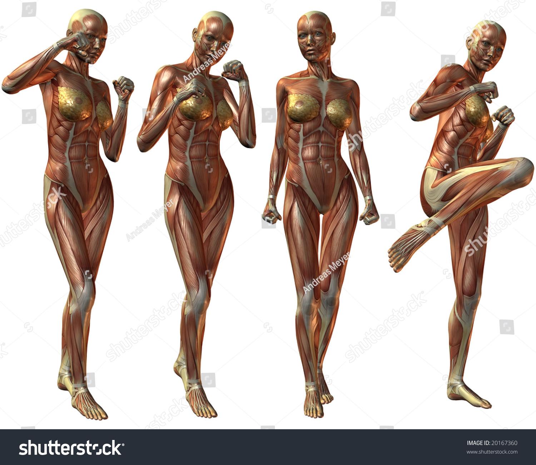 Female Human Body Anatomy Stock Illustration 20167360 Shutterstock