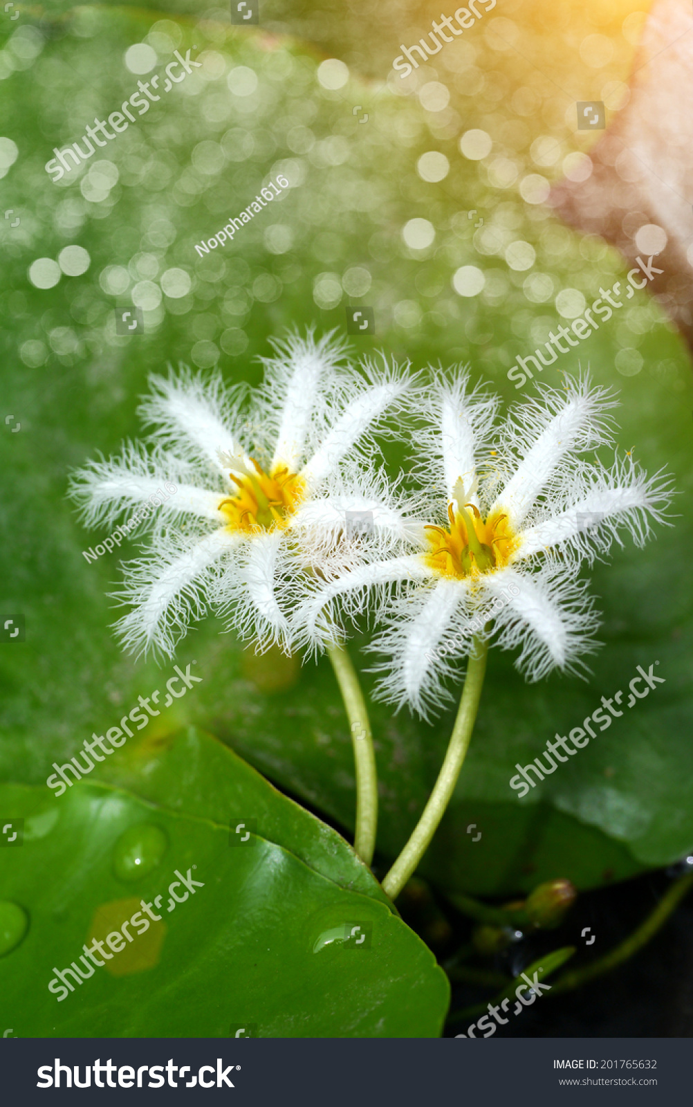 Small white water lily flower stock photo edit now 201765632 small white water lily flower izmirmasajfo