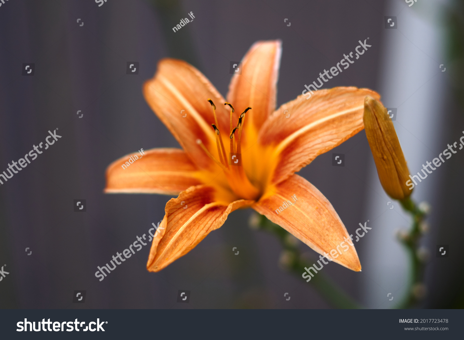 Close up of single, orange colored, blooming daylily flower . High quality photo #2017723478