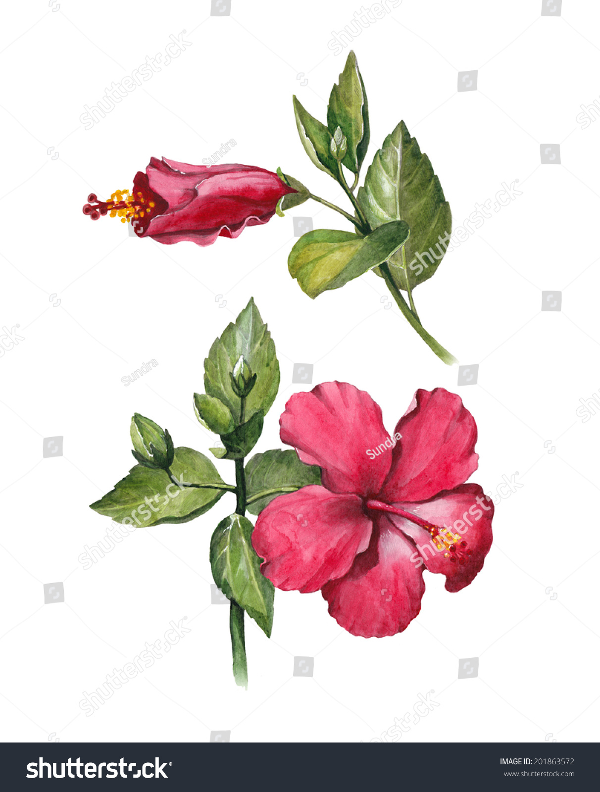Watercolor Hibiscus Flower Illustration Stock Illustration 201863572