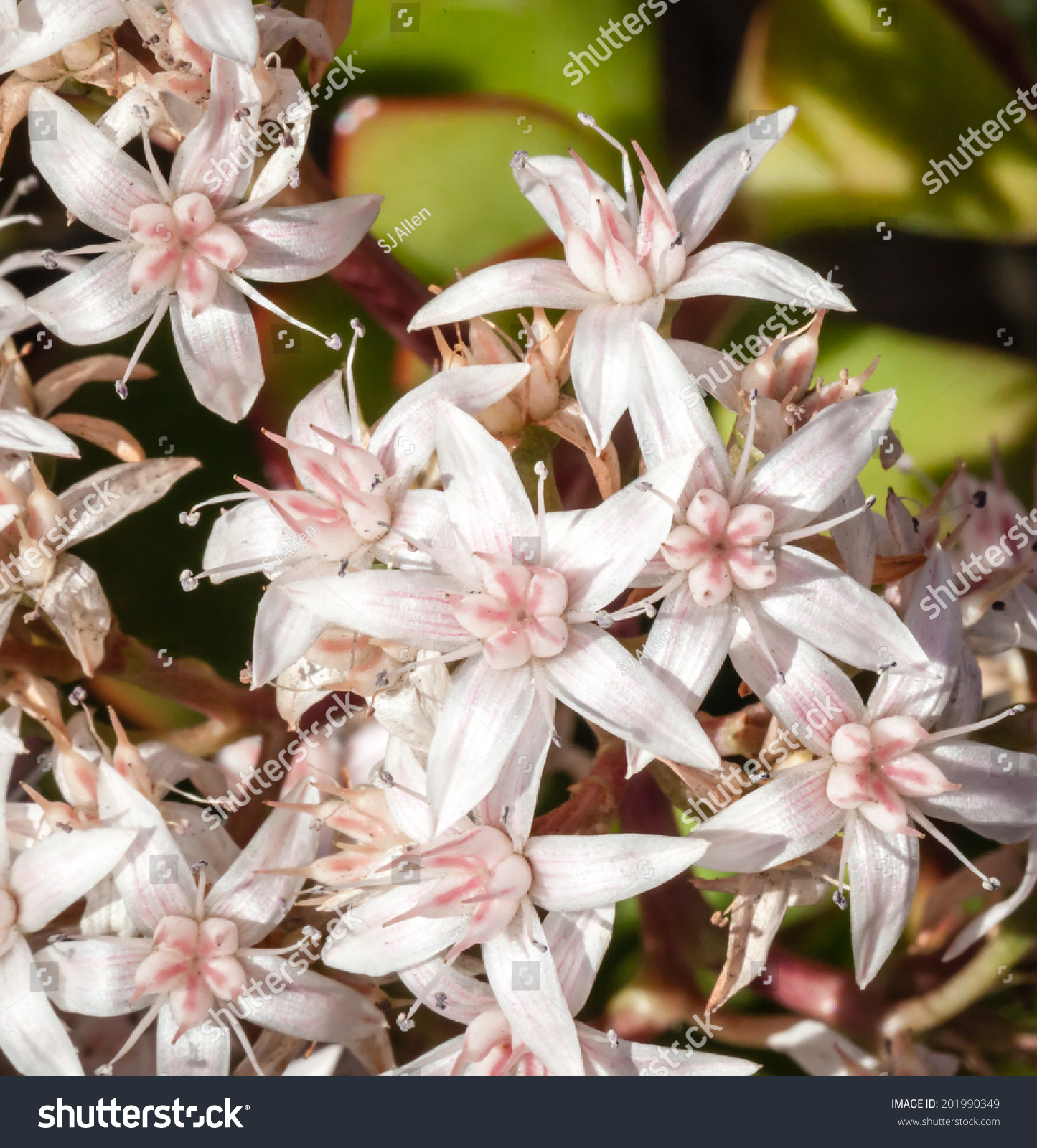 Beautiful Cluster Starlike Pink White Flowers Stock Photo Edit Now