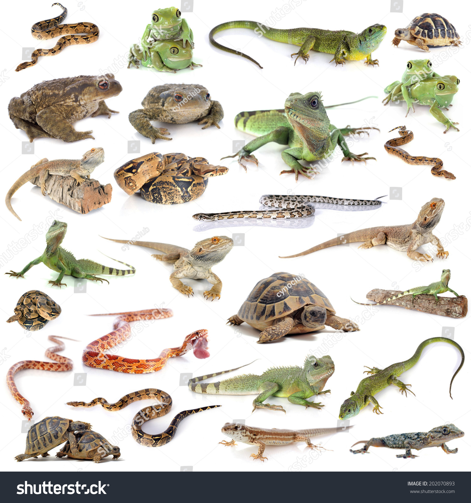 10 Types Of Amphibians Pictures to Pin on Pinterest ... 10 Examples Of Reptiles