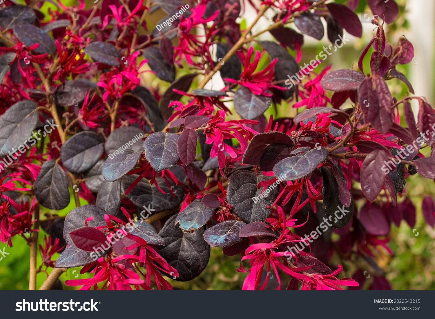 Leaves and flowers on a Loropetalum Chinense plant growing in north east Italy. This evergreen shrub is commonly known as Loropetalum, Chinese Fringe Flower or Strap Flower #2022543215