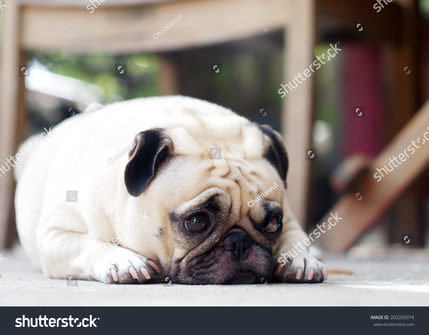 pug dating site It's a question all people desperate to own a dog have asked themselves: would i  be willing to pretend to be interested in a potential date so i.