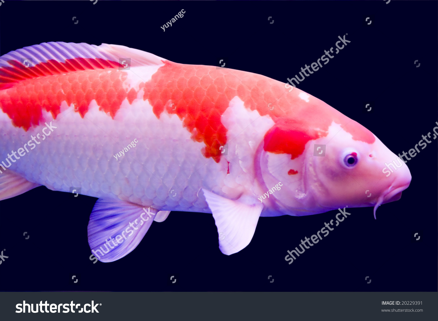 Big colorful koi carp in a aquarium stock photo 20229391 for Colourful koi fish