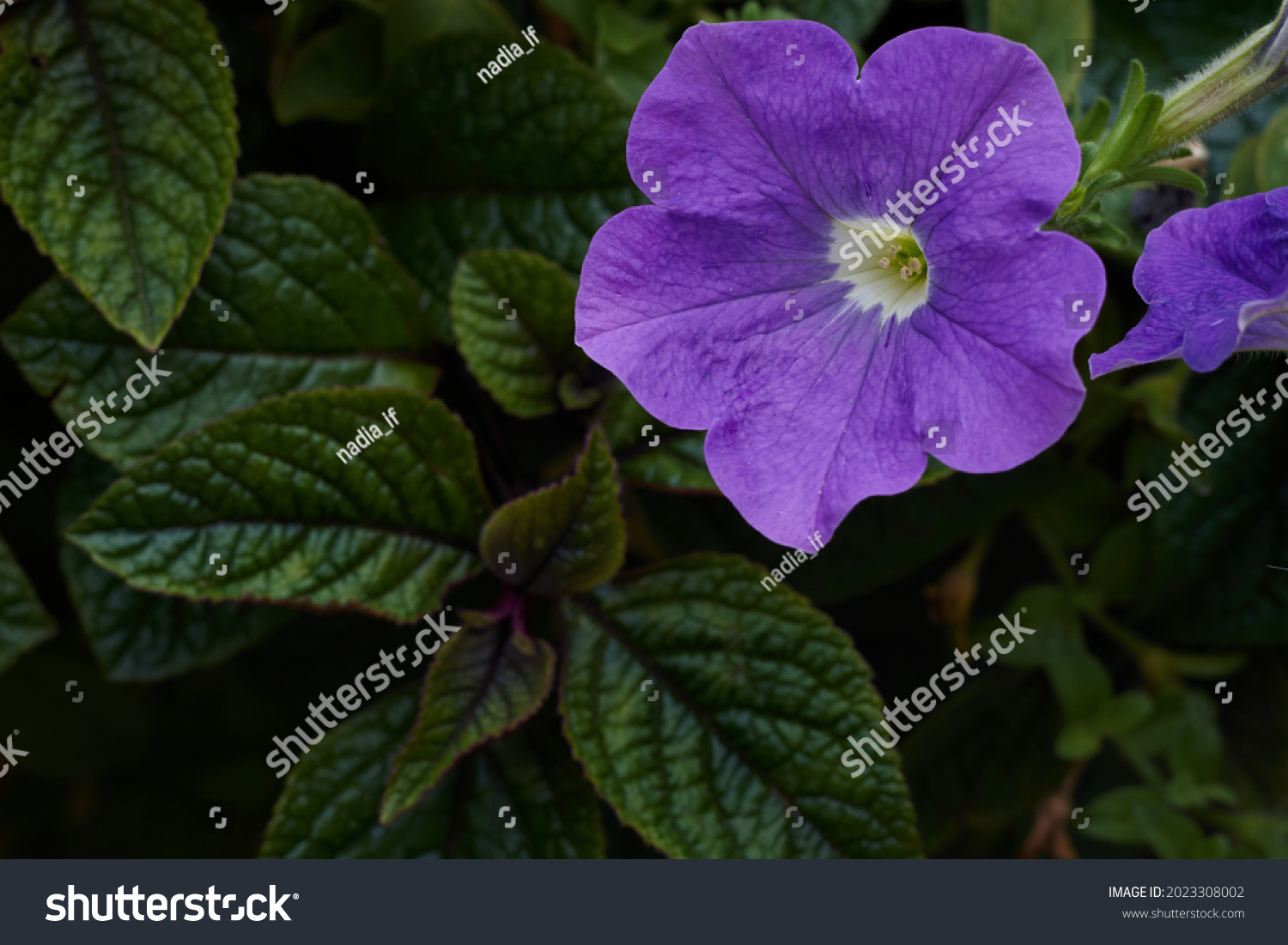 Purple mexican petunia beautiful blooming flower green leaf background. High quality photo #2023308002