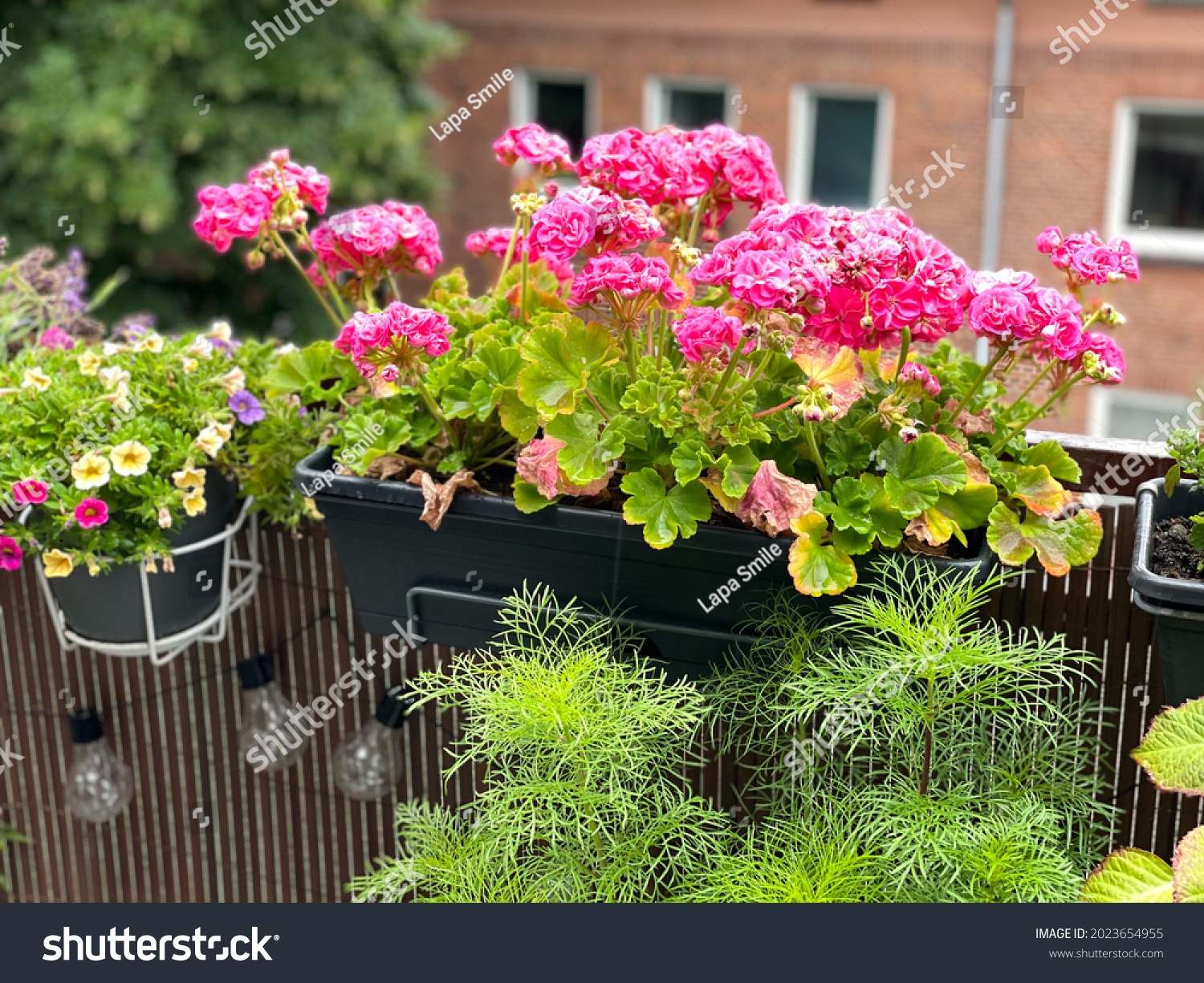 Blooming vibrant pink geranium pelargonium flowers in decorative flower pot hanging on a balcony fence, spring summer balcony garden with blooming flowers #2023654955