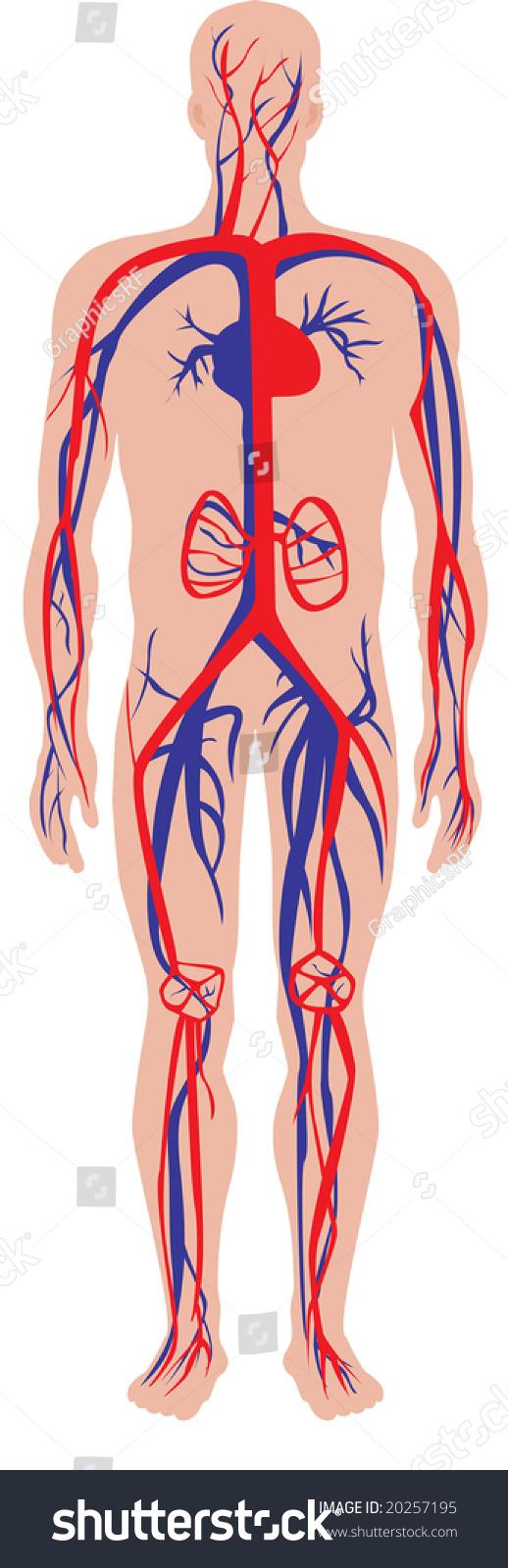 Illustration Human Circulatory Cardiovascular System Stock