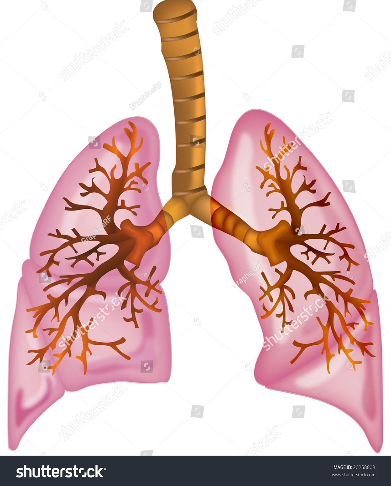 Human Lungs High Detailed Illustration - 20258803 ...