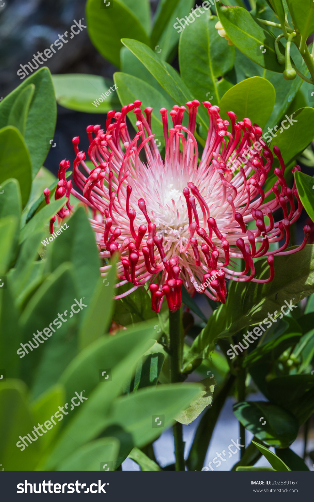 Closeup beautiful exotic flower tentacle looking stock photo closeup of a beautiful exotic flower with tentacle looking petals and green leaves izmirmasajfo Images