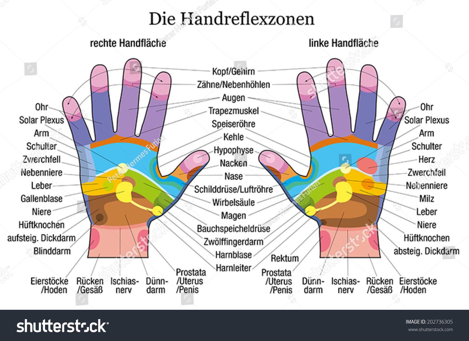 Hand Reflexology Chart Accurate Description Corresponding Stock ...