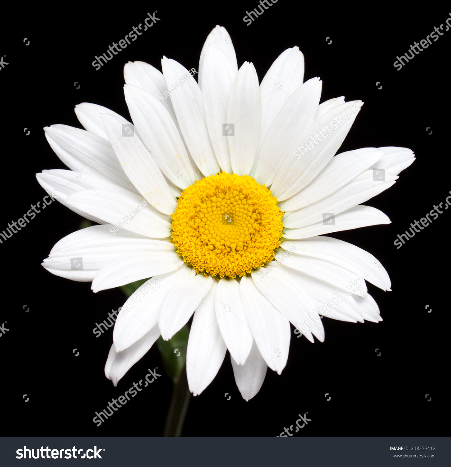 Camomile, White Daisy Flower Isolated On Black Background ...