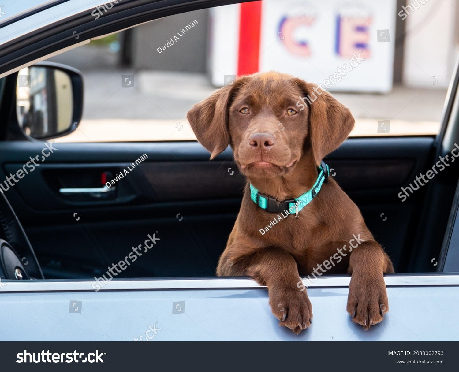 A patient chocolate Labrador Retriever puppy waits in the car.