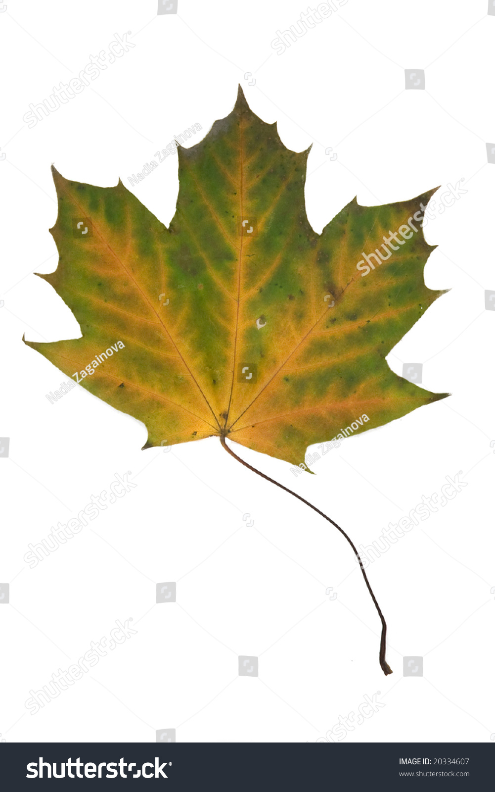 Multy colored dried maple leaf canadian stock photo 20334607 multy colored dried maple leaf canadian symbol biocorpaavc Choice Image