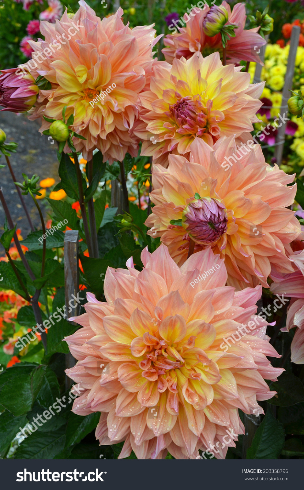 Beautiful Pink Orange Dahlia Flowers Summer Stock Photo Royalty